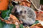 Hedgehog in autumn nature.