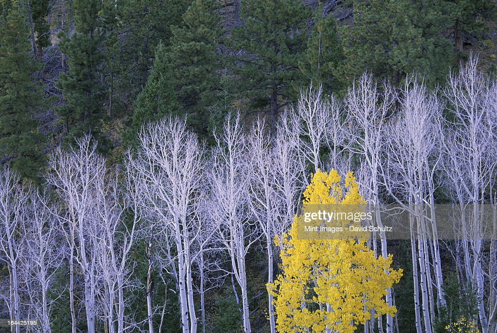 Autumn in Dixie National Forest. White branches and tree trunks of aspen trees, with yellow brown foliage. Dark green pine trees. : Stock Photo