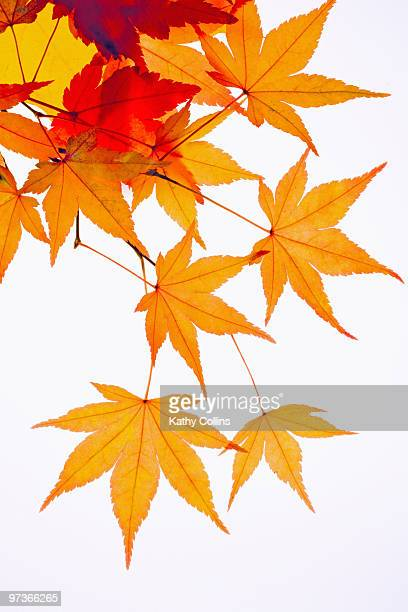 Autumn Japanese Acer leaves white background
