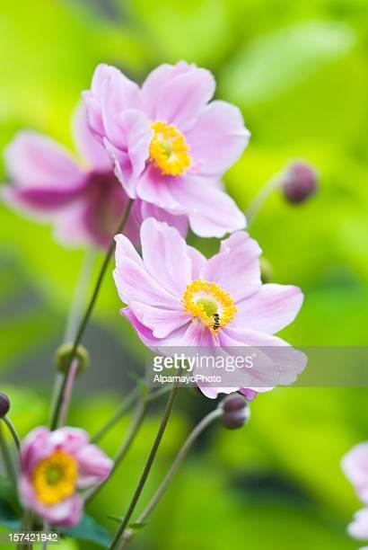 Autumn Japanese Anemone (Anemone hupehensis) - V