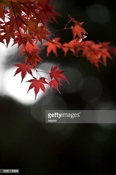 Autumn イロハモミジリーブズ