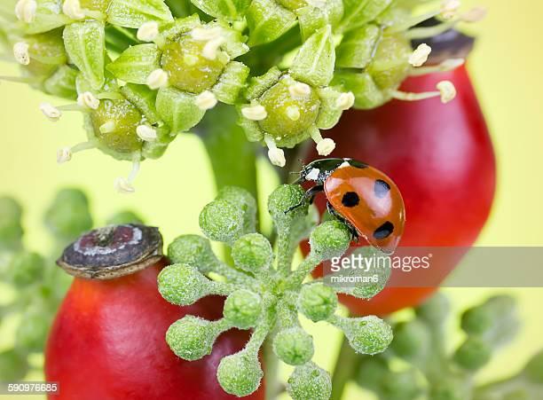 Autumn Ladybird