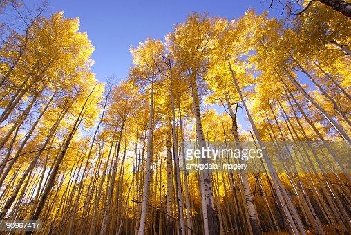 秋のアスペンの木の森林黄色の風景