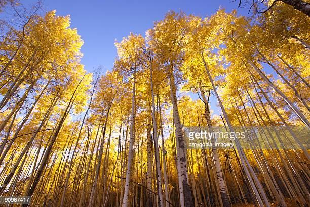 autumn landscape forest yellow aspen trees