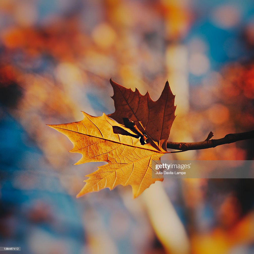 Autumn leaf and twig : Stock Photo