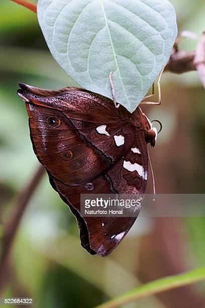 Autumn Leaf Butterfly (Doleschallia bisaltide) hanging under leaf