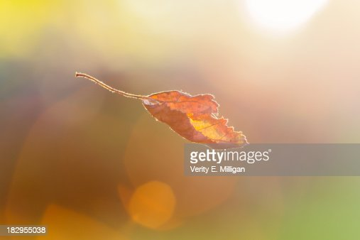 Autumn Leaf falling from Tree