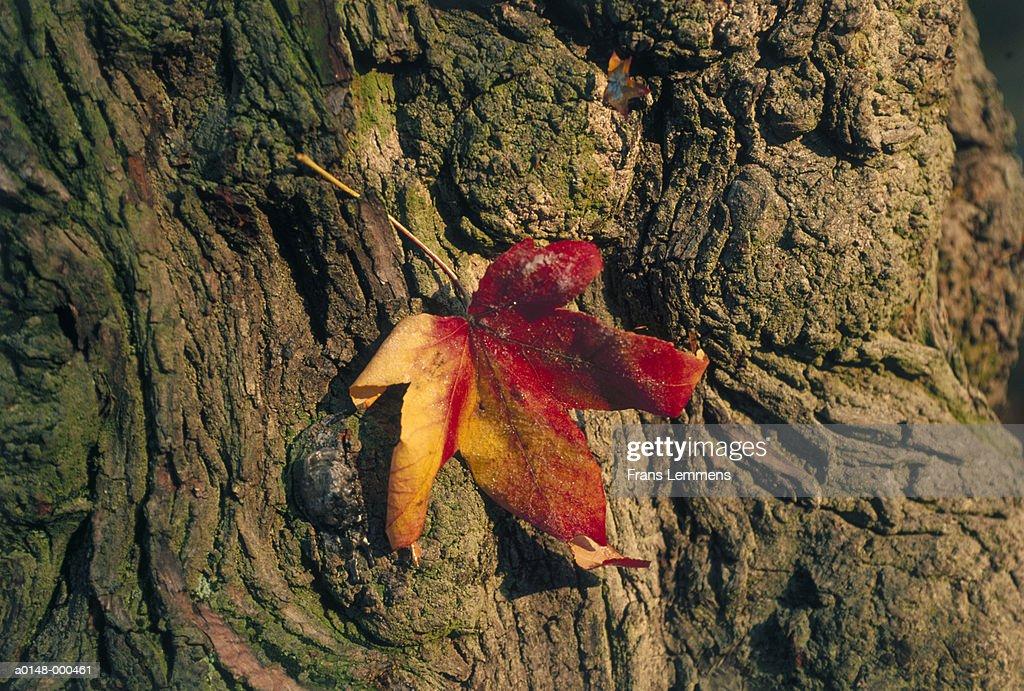 Autumn Leaf on Bark of Tree : Stock Photo