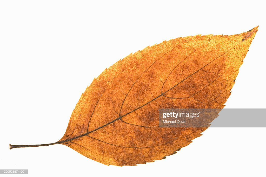 Autumn leaf on white background : Stock Photo