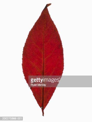 Autumn leaf : Stockfoto