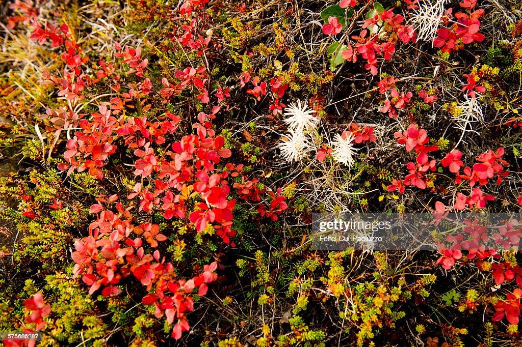 Autumn leafs at Faskrudsfjordur eastern Iceland