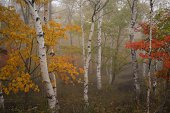 Autumn leaves and white birch