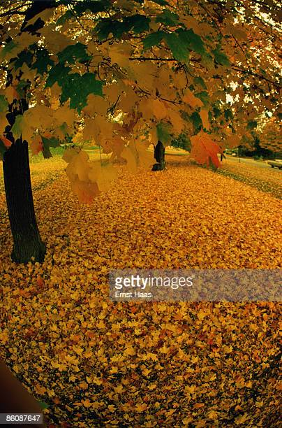 Autumn leaves at the foot of a tree October 1970