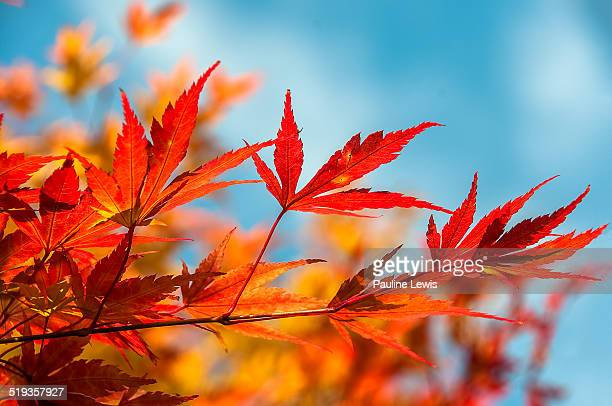 Autumn Leaves, Blue Sky
