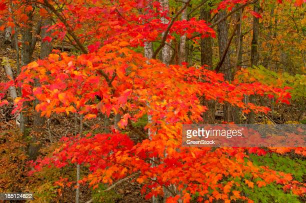 Autumn Leaves in Great Smoky Mountains National Park