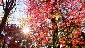 leaves turns crimson