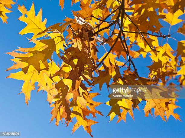 Autumn leaves of a Norway Maple -Acer platanoides-