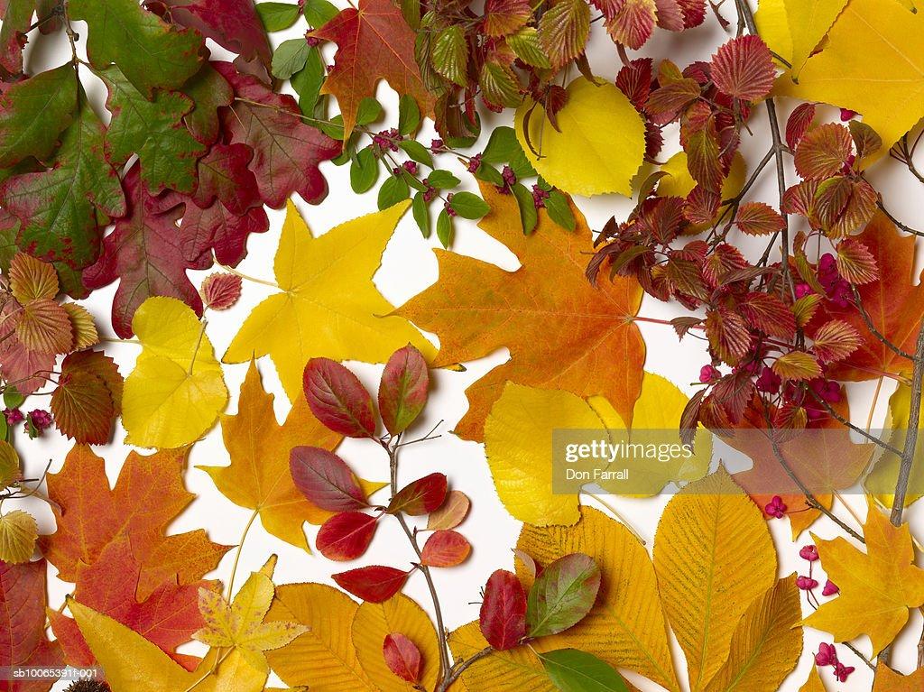 Autumn leaves on white background : Stock Photo