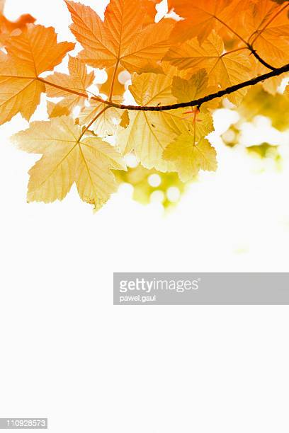 Autumn leaves on white