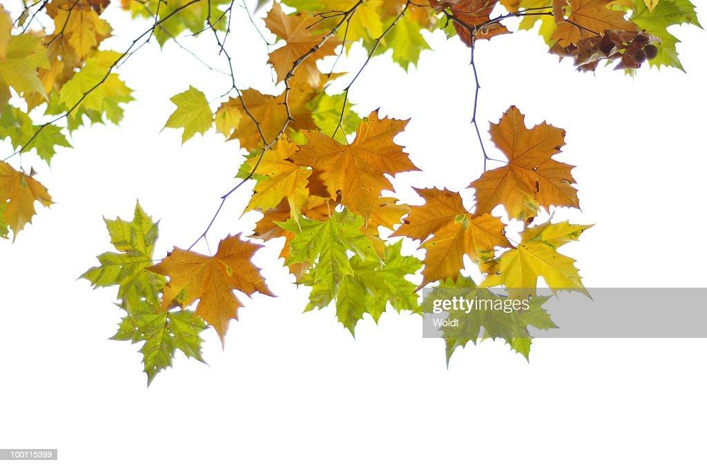 Autumn leaves : Foto de stock
