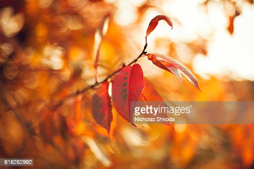autumn leaves soft focus background outdoors : Stock Photo