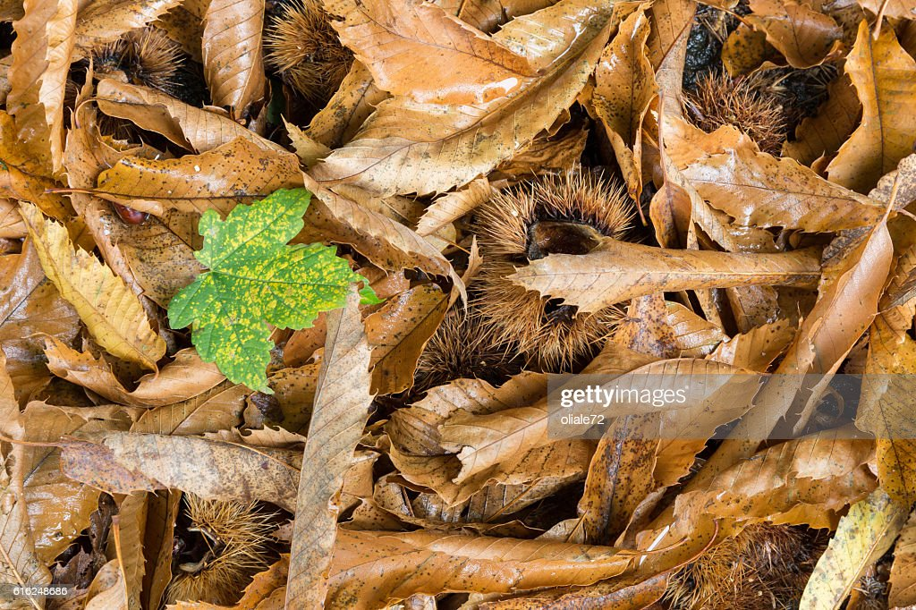 Autumn Leaves - Standing out from the crowd : Stock Photo