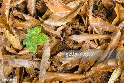 Autumn Leaves - Standing out from the crowd : Foto de stock
