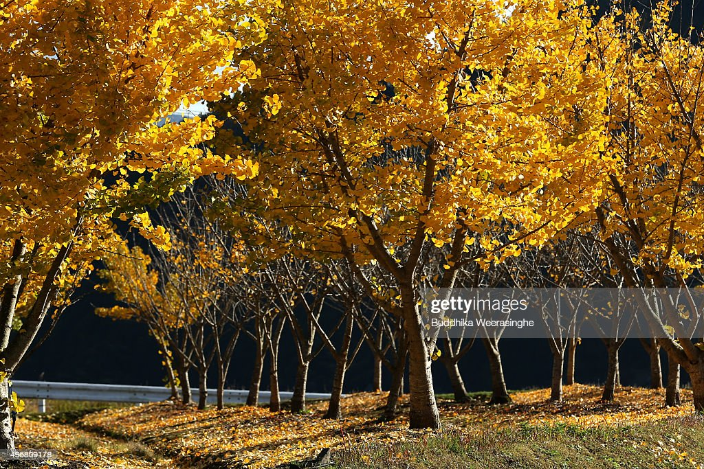 Toyooka Japan  city photos gallery : Autumn leaves trees stand on November 12, 2015 in Toyooka, Japan. In ...