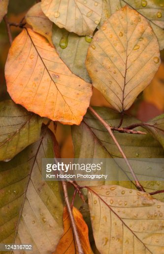 Autumn Leaves With Raindrops Stock Photo | Getty Images