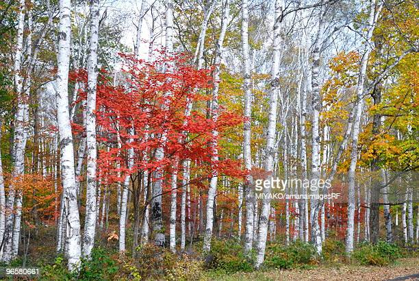 Autumn Leaves, Yachiho, Nagano, Japan
