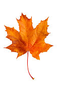 Autumn maple leaf isolated on white background.
