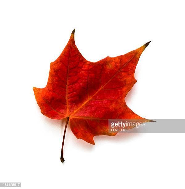 Herbst Ahorn Blätter