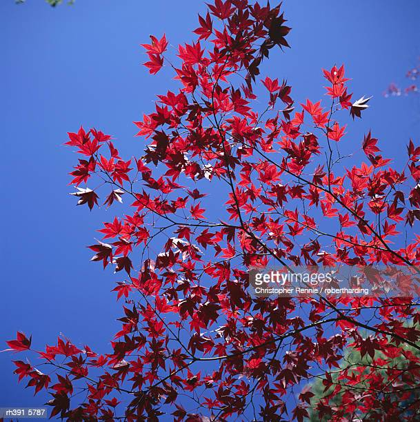Autumn maple leaves against a blue sky, Kinkaku-ji 'Golden' Temple garden, Kyoto, Kansai, Japan, Asia