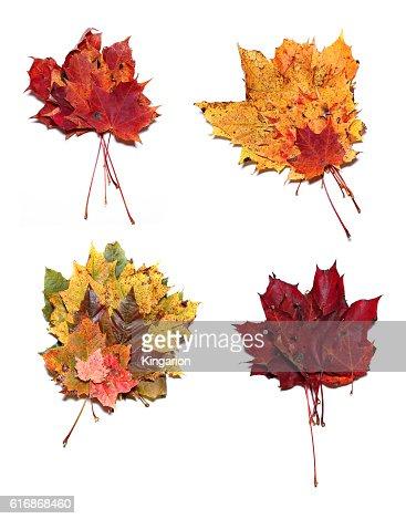Autumn maple leaves isolated : Stock Photo