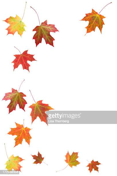 Autumn Maple リーブズ(XXL