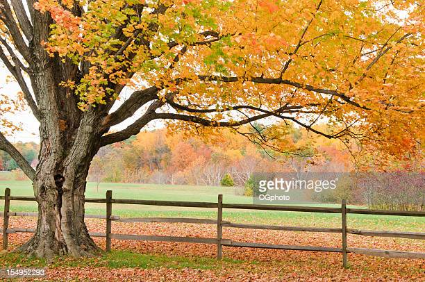 Autumn maple tree and fence