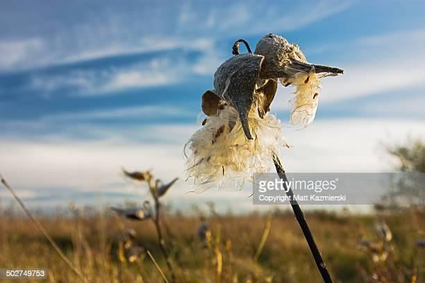Autumn milkweed