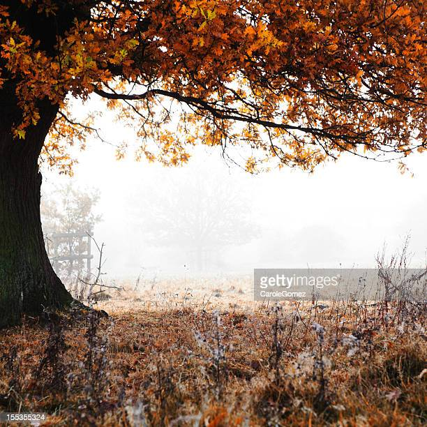 Autumn Mist, Ancient Oak Tree