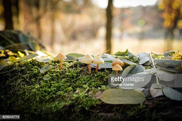 Autumn mood in the nature reserve Biesenthaler Becken Mushrooms grow on a mossy tree trunk on November 13 2016 in Biesenthal Germany