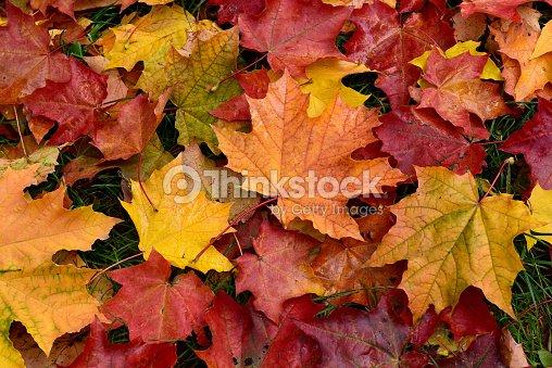 Autumn. Multicolored fallen leaves. : Foto de stock