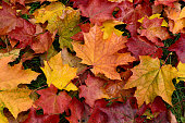 Wet, bright leaves of maple lie on the grass.
