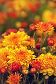 Colorful orange yellow Mum or Chrysanthemum flowers blooming in garden