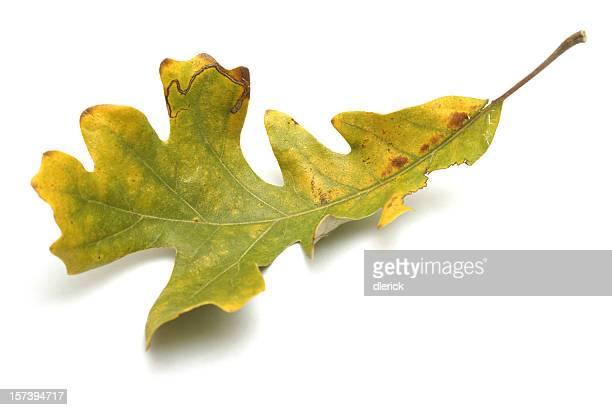 autumn oak leaf on white