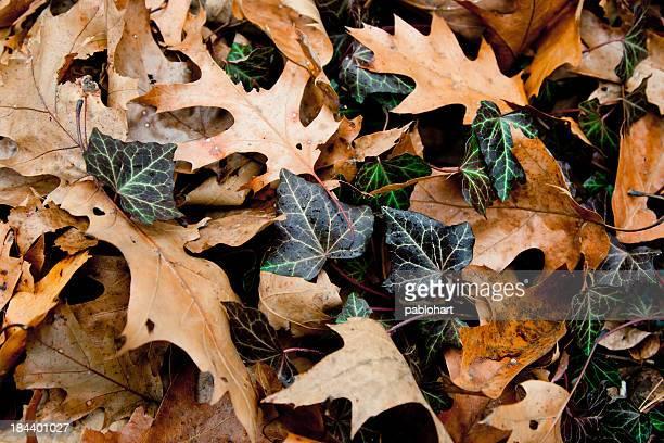 Automne feuilles de Chêne vert à de vigne