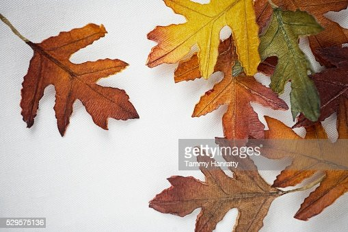Autumn Oak Leaves : Stock-Foto
