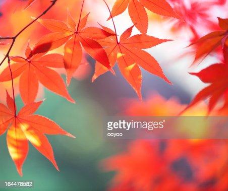 Naranja hojas de otoño con la luz del sol