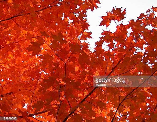 Herbst Orange Maples
