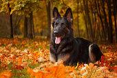Autumn portrait of a German Shepherd