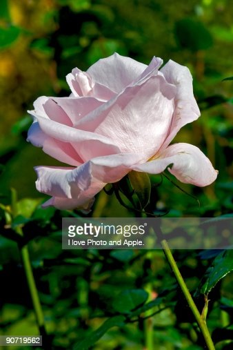 Autumn Rose : Stock Photo