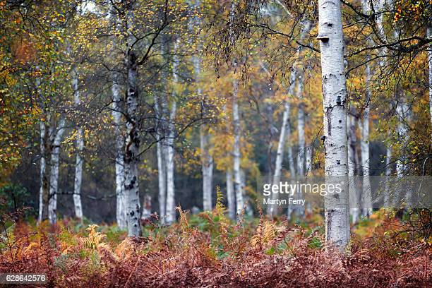 Autumn silver birch trees at Holme Fen, Holme, Cambridgeshire, East Anglia, UK